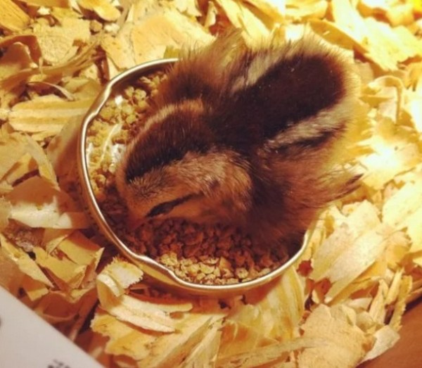 Chick Asleep in Food Bowl