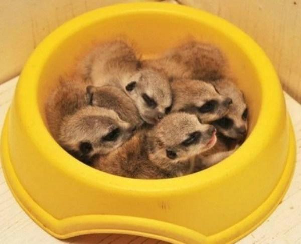 Meerkats Asleep in Food Bowl