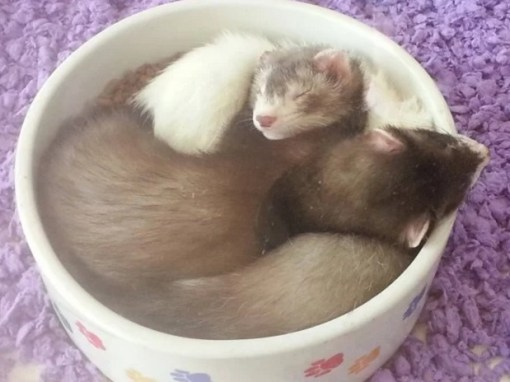 Ferrets Asleep in Food Bowl