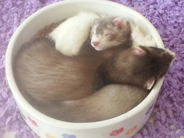 Ferrets Asleep in Food Bowl