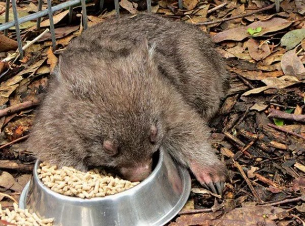 Baby wombat Asleep in Food Bowl