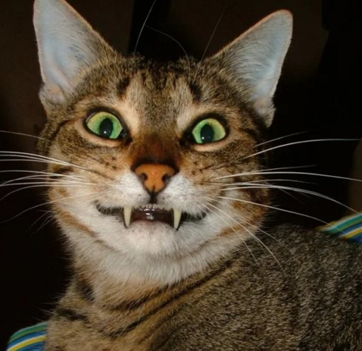 Cat Showing Fangs