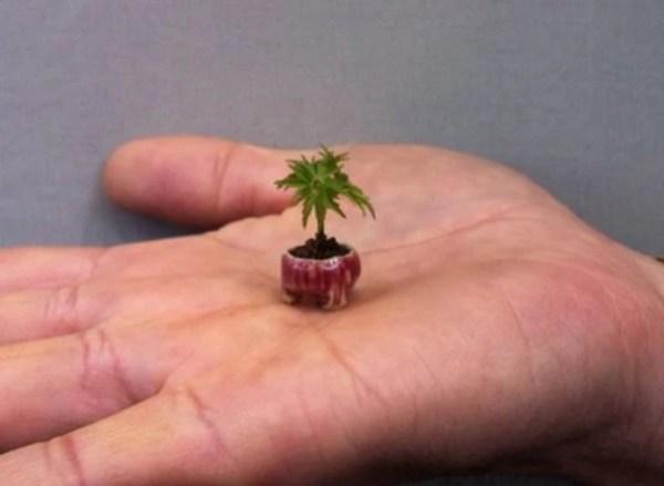 World's Smallest Bonsai Tree