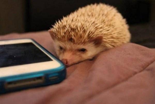 Hedgehog using a phone
