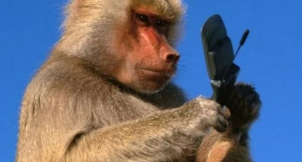Rhesus monkey using a phone