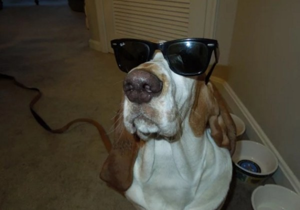 Funny Basset Hound wearing Sunglasses