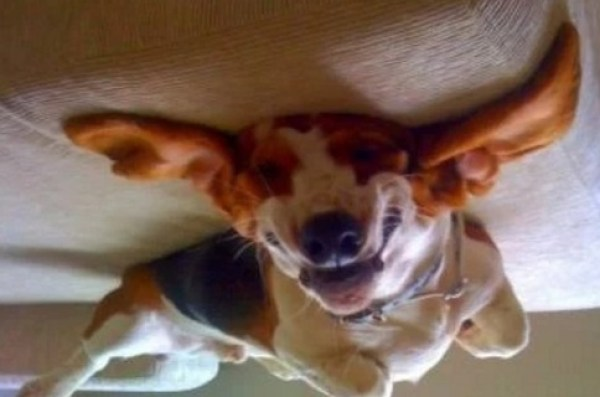 Funny Basset Hound Upside Down