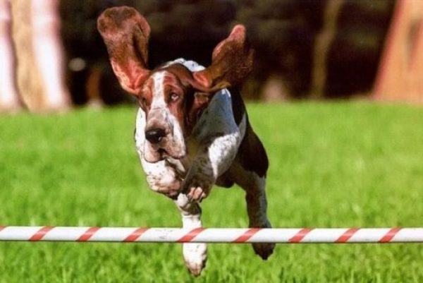 Funny Basset Hound Jumping a Fence