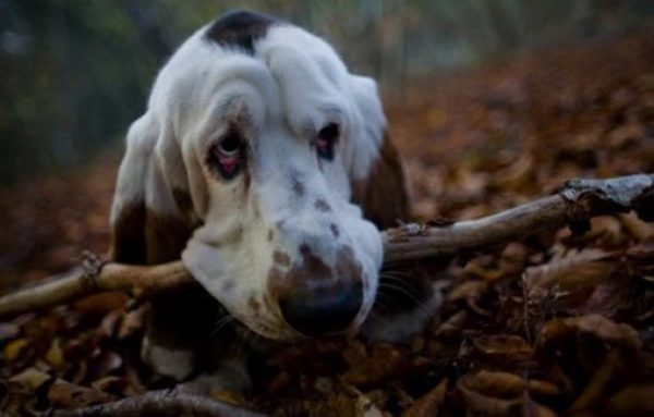 Funny Basset Hound with a big stick in its mouth