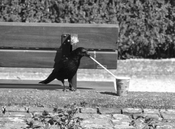 Crow using a drinking straw
