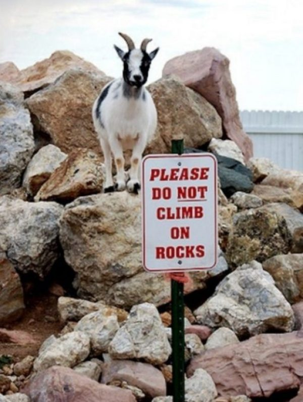 Rebellious Goat