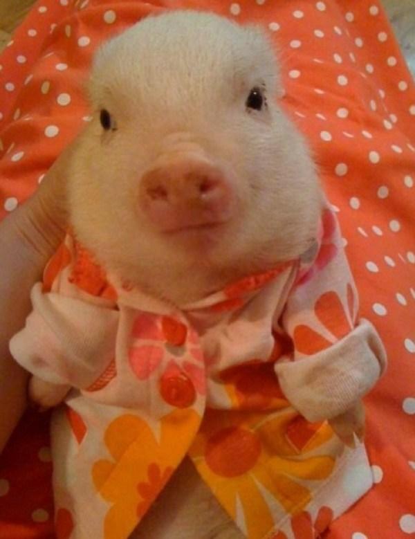 Pig in Pyjamas