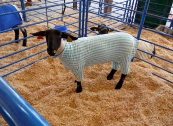 Sheep in Pyjamas