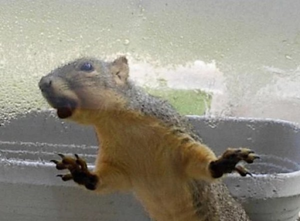 Squirrel Licking a Window