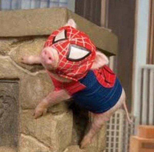 Pig Looks like Spider-Man