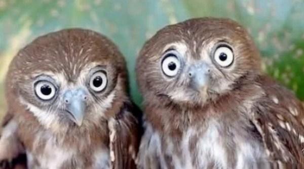 Identical Twin Owls