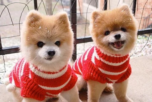 Identical Twin Dogs