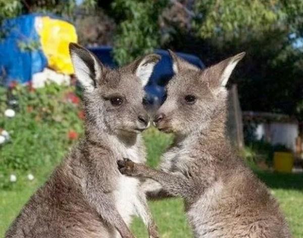 Identical Twin Kangaroos