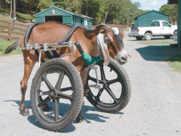 goat in a wheelchair
