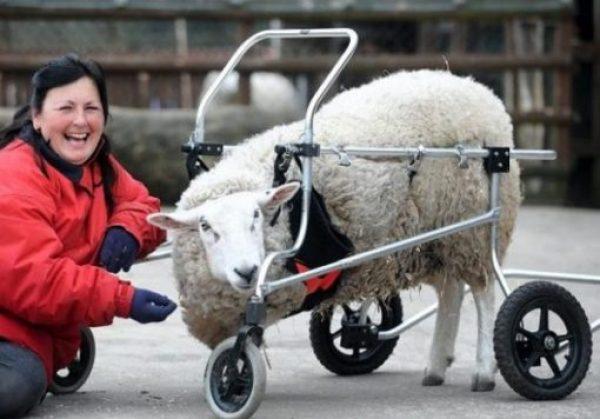 sheep in a wheelchair
