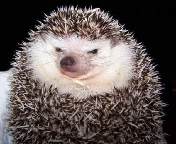 Grumpy Looking Hedgehog