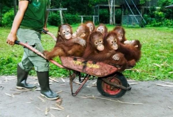 8 Orang-utans in a wheelbarrow