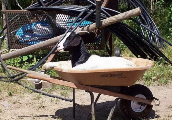 Goat in a wheelbarrow