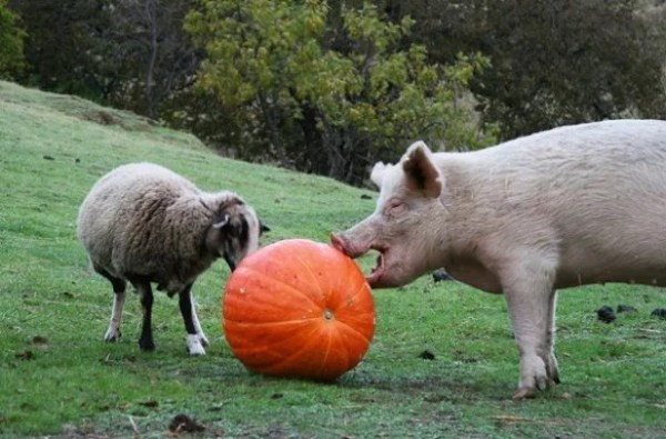 Things to do With Pumpkins After Halloween: Feed the farm animals