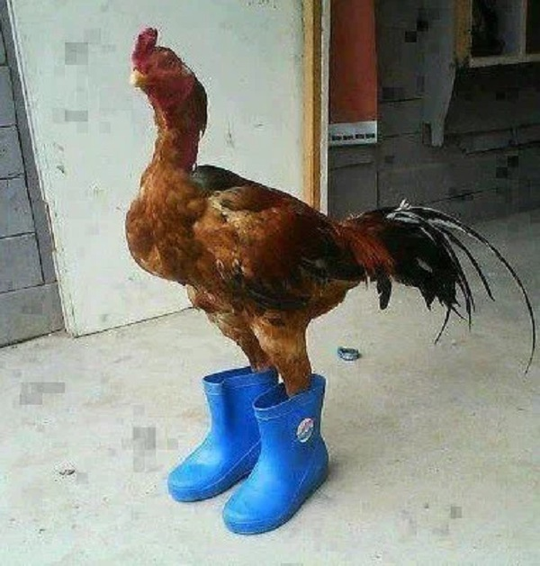 Chicken Wearing Shoes