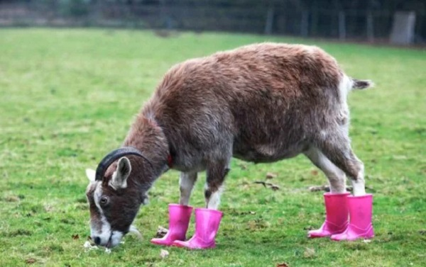 Goat Wearing Shoes