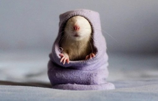 Rat wearing a sock