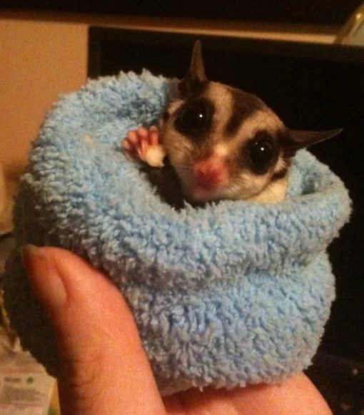 sugar glider wearing a sock