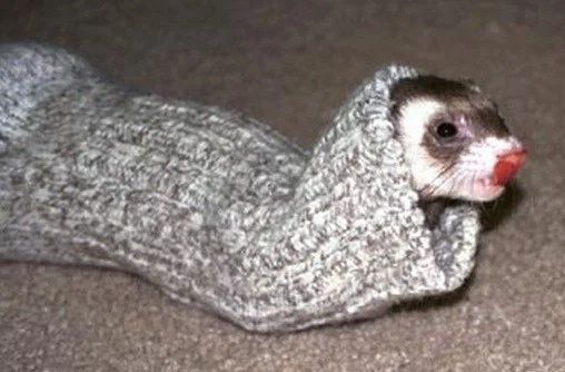 Stoat wearing a sock