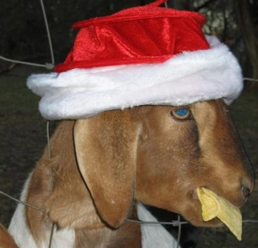 Goat in a Christmas Santa Hat