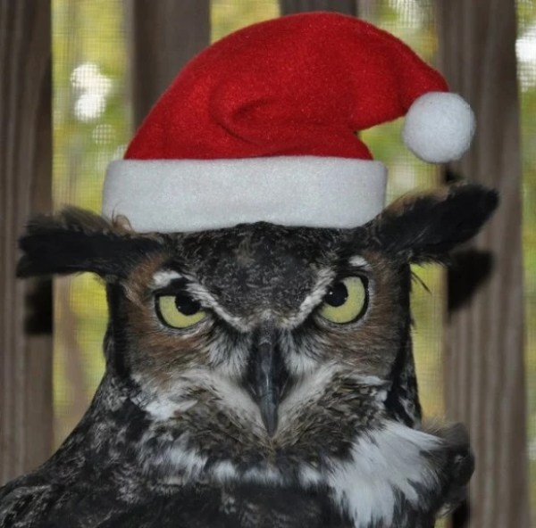 Owl in a Christmas Santa Hat