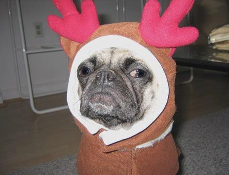 Dog Dressed as a Reindeer