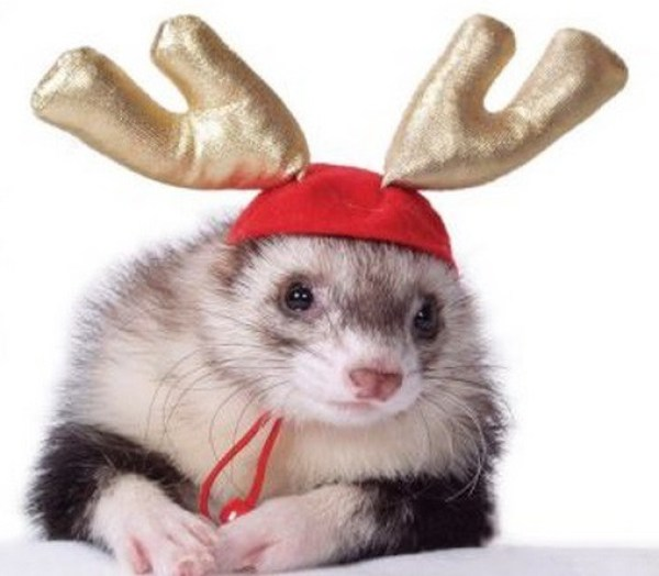 Ferret Dressed as a Reindeer