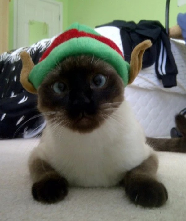 Cat in an Elf Costume