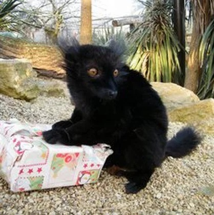 Black Lemur With a Christmas Present