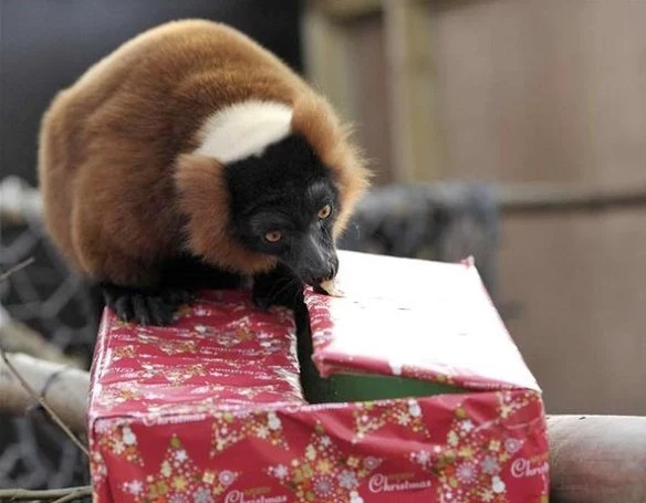Red Ruffed Lemur With a Christmas Present