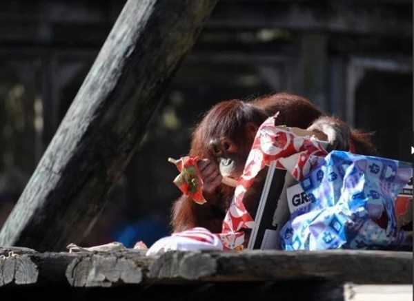 Orangutan With a Christmas Present/Gift