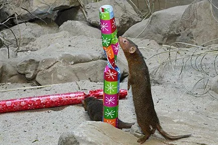 Weasel With a Christmas Present