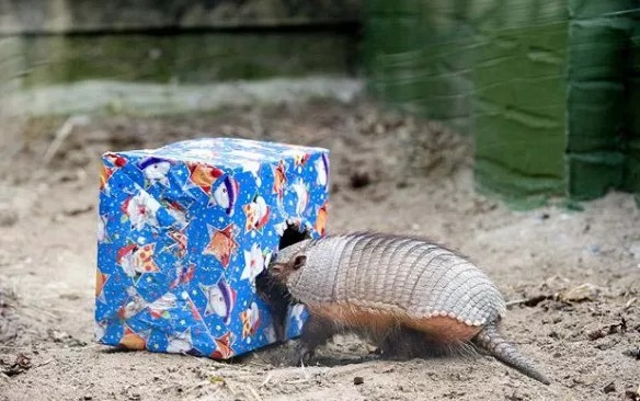 Armadillo With a Christmas Present