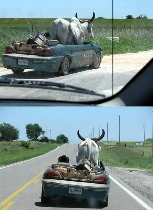 OX travailing in a car