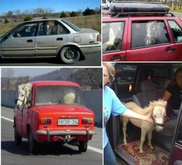 Horse travailing in a car