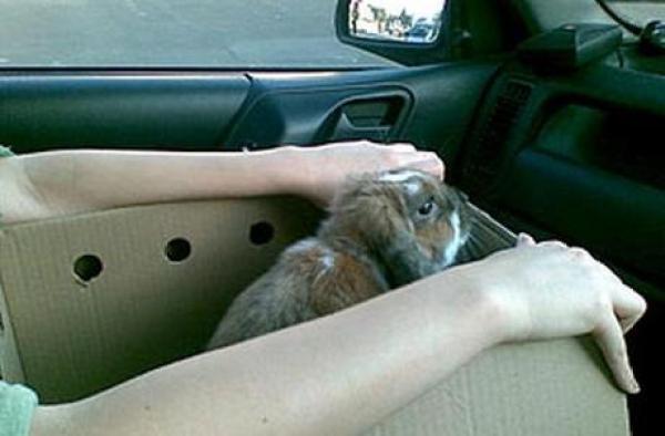 Rabbit travailing in a car