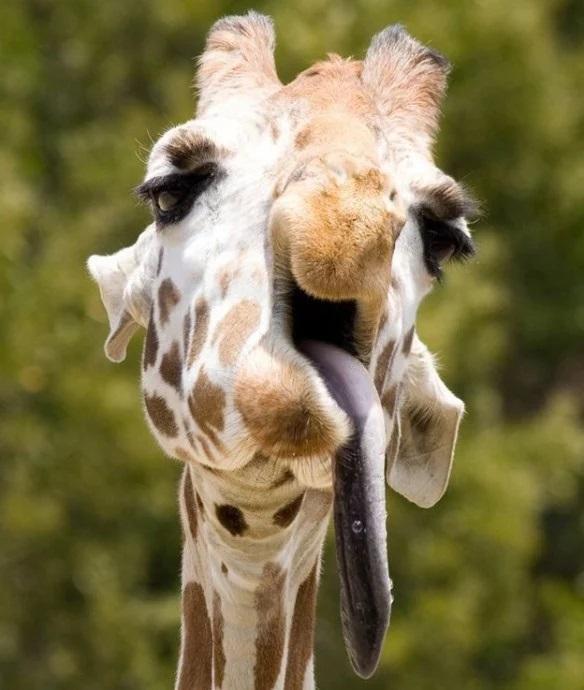 Giraffe that looks like it has a hangover