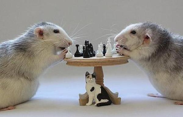 Rats playing Chess