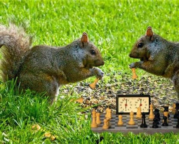 Squirrel playing Chess