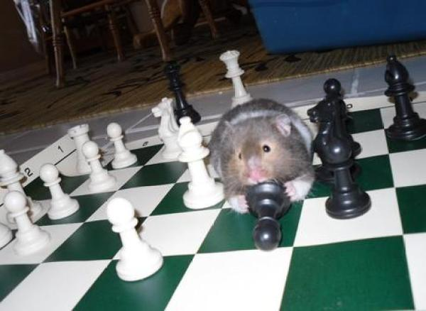 Hamster playing Chess